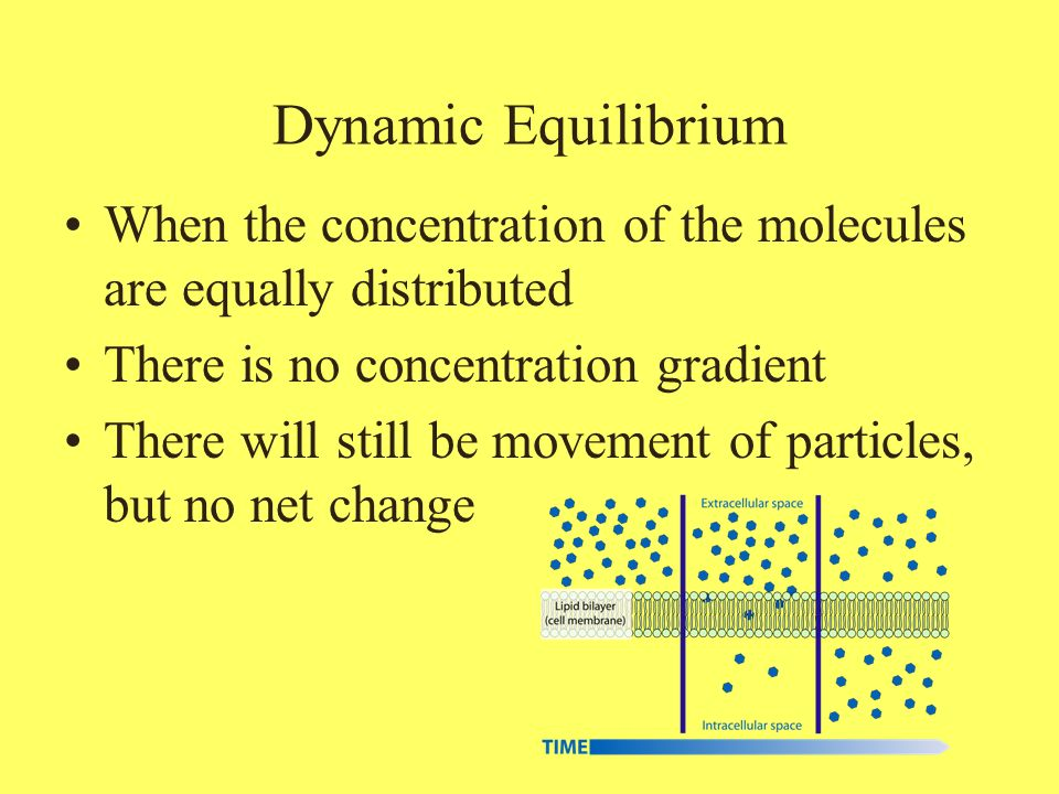 Dynamic Equilibrium When the concentration of the molecules are equally distributed. There is no concentration gradient.