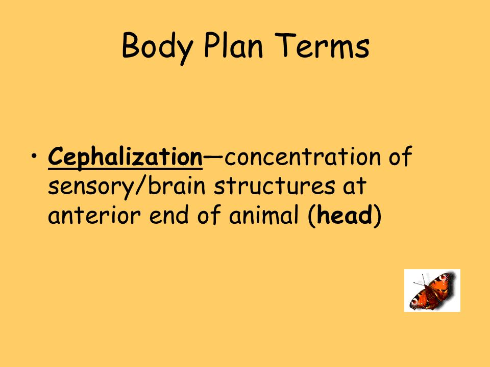 Body Plan Terms Cephalization—concentration of sensory/brain structures at anterior end of animal (head)