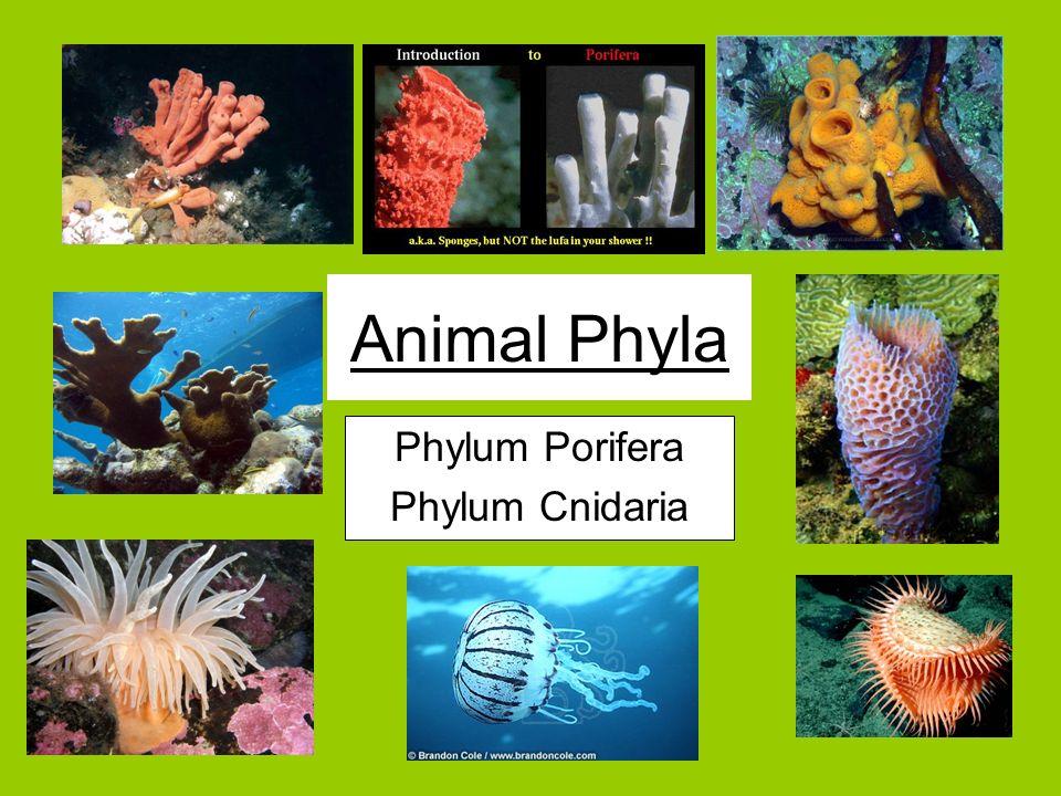 Phylum Porifera Phylum Cnidaria