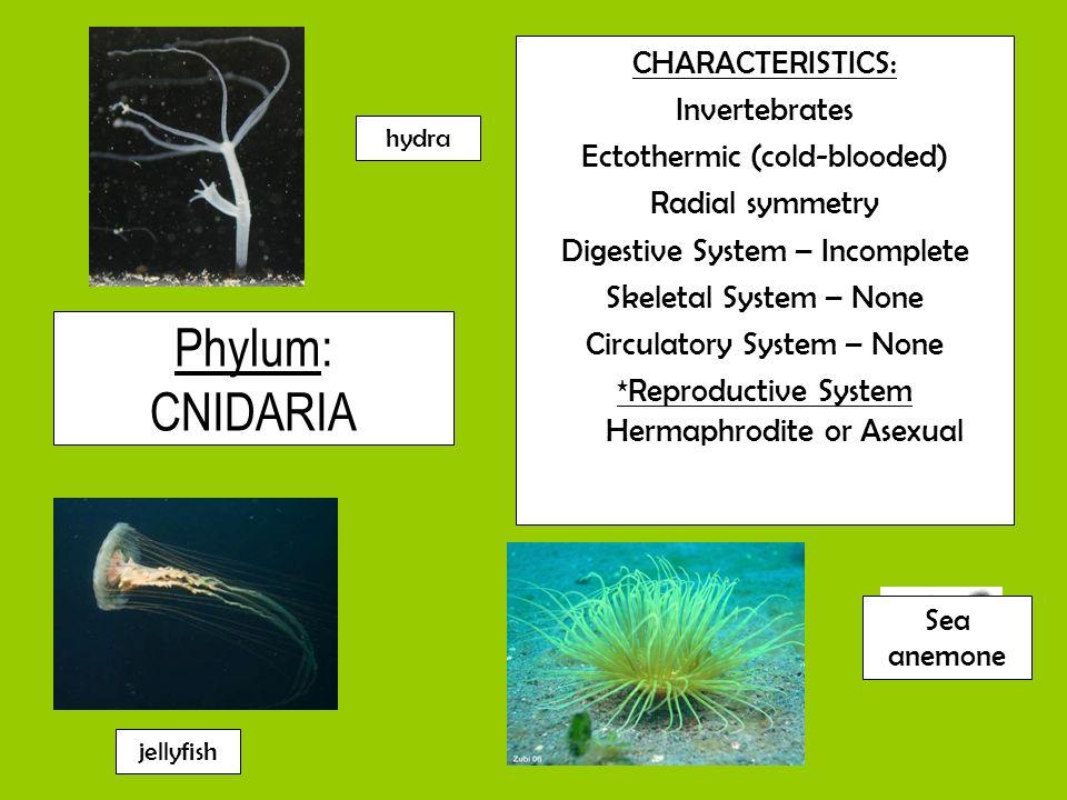 Phylum: CNIDARIA CHARACTERISTICS: Invertebrates