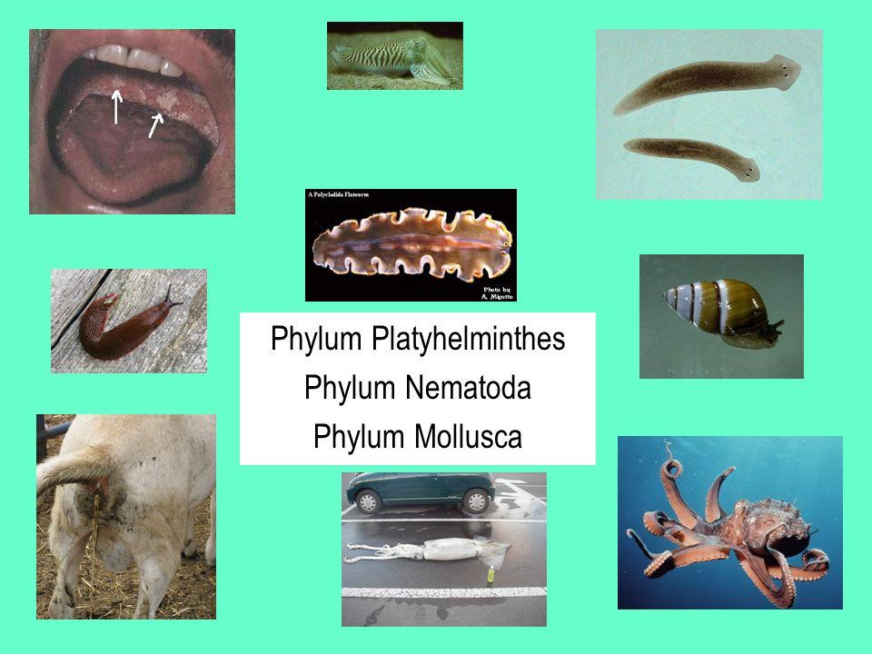 Phylum Platyhelminthes Phylum Nematoda Phylum Mollusca