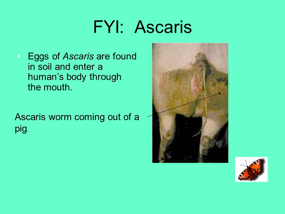 FYI: Ascaris Eggs of Ascaris are found in soil and enter a human's body through the mouth.