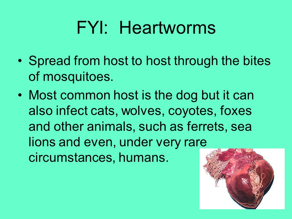 FYI: Heartworms Spread from host to host through the bites of mosquitoes.