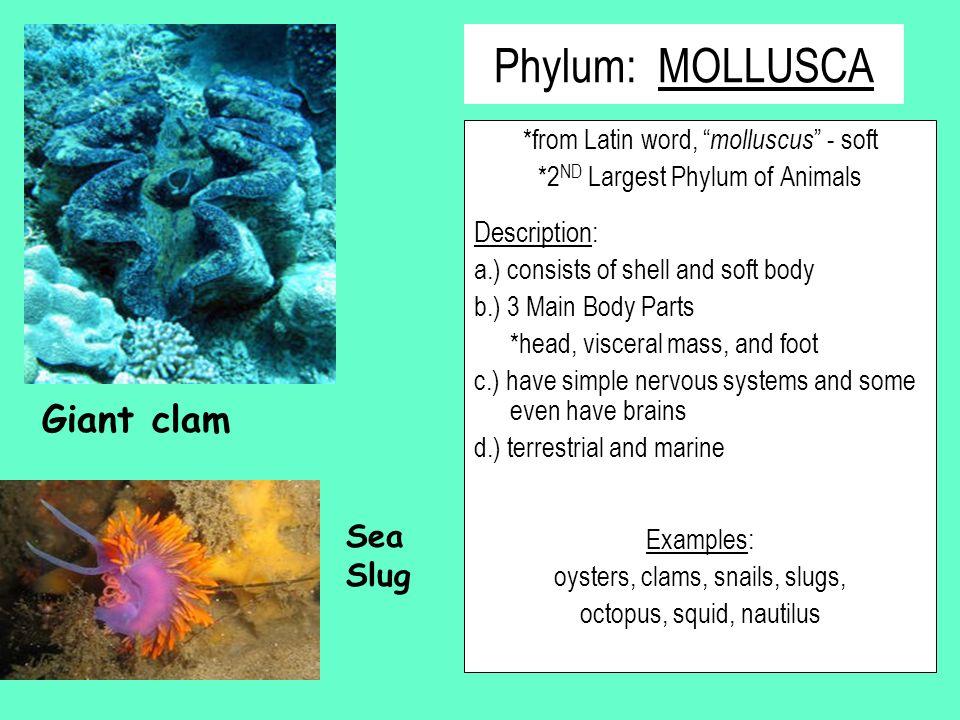 Phylum: MOLLUSCA Giant clam Sea Slug Description: