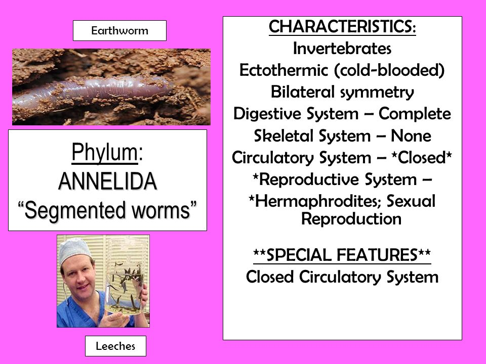Phylum: ANNELIDA Segmented worms
