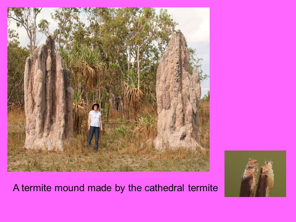 A termite mound made by the cathedral termite