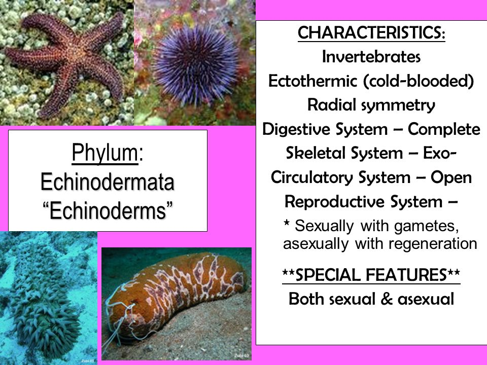 Phylum: Echinodermata Echinoderms