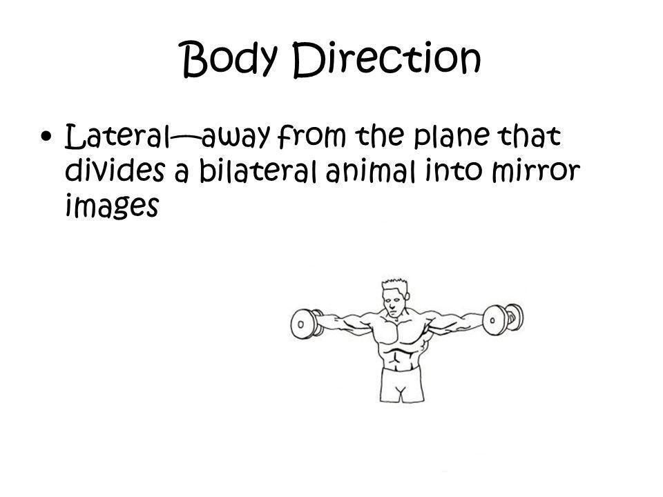 Body Direction Lateral—away from the plane that divides a bilateral animal into mirror images