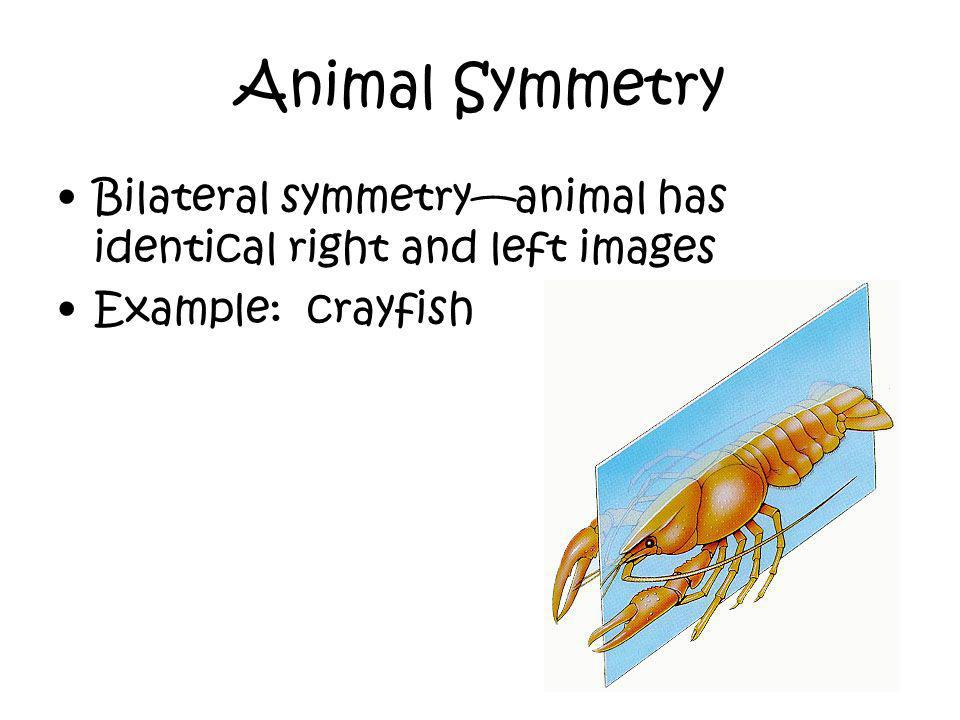 Animal Symmetry Bilateral symmetry—animal has identical right and left images Example: crayfish