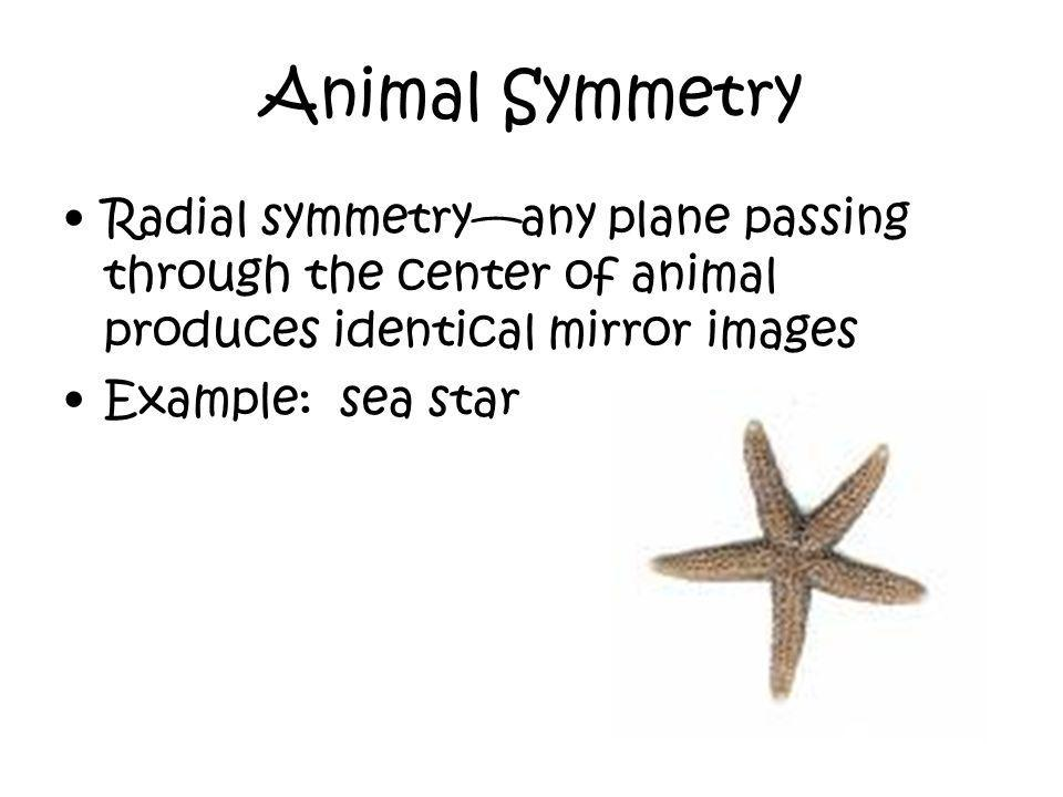 Animal Symmetry Radial symmetry—any plane passing through the center of animal produces identical mirror images.