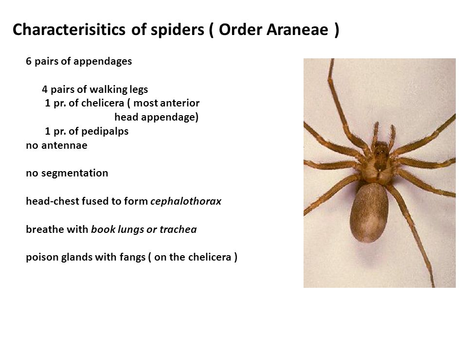 Characterisitics of spiders ( Order Araneae )
