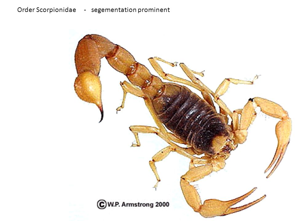 Order Scorpionidae - segementation prominent