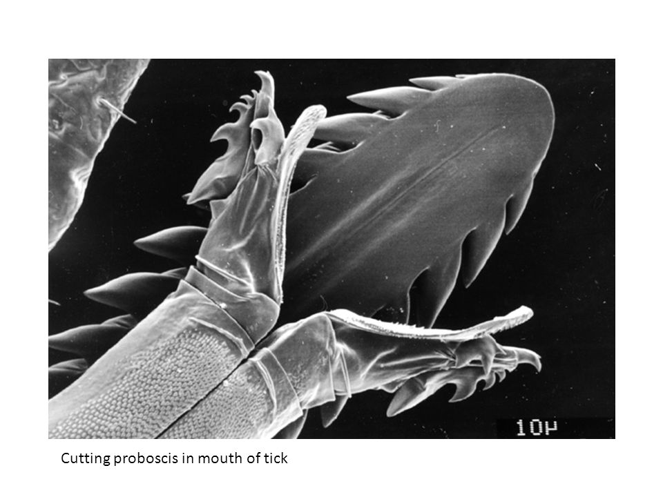 Cutting proboscis in mouth of tick