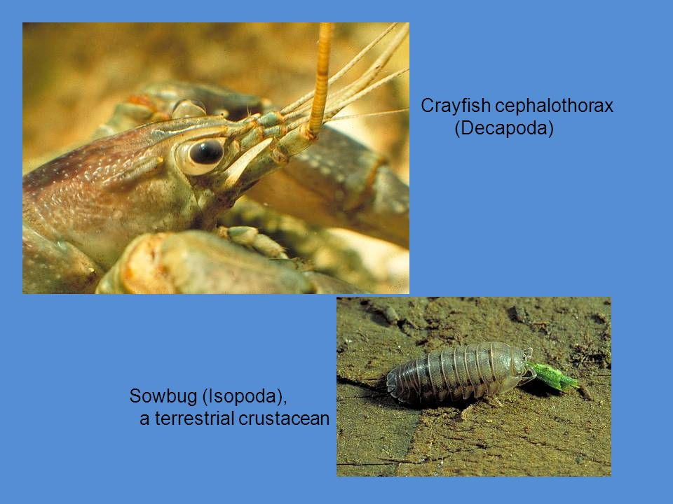 Crayfish cephalothorax
