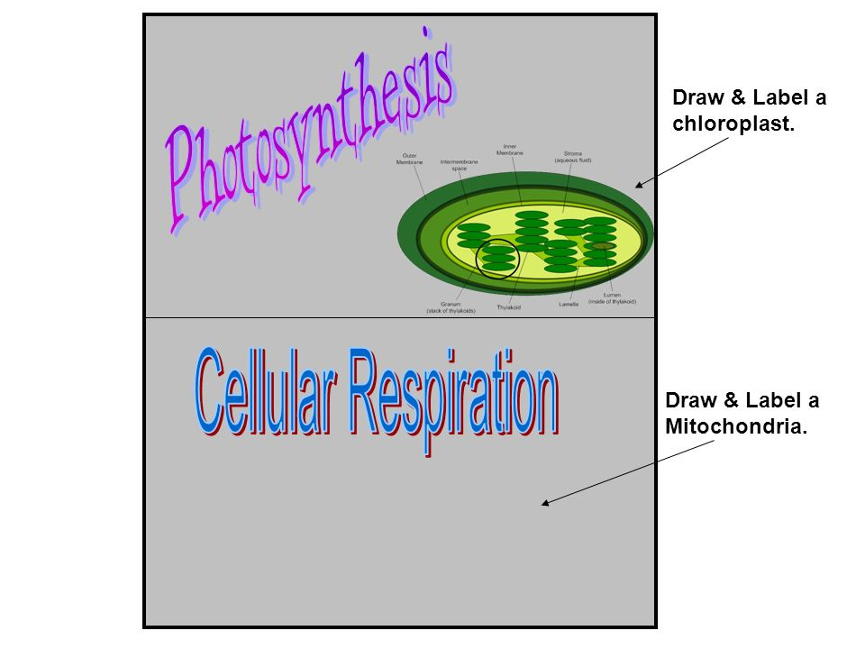 Photosynthesis Cellular Respiration Draw & Label a chloroplast.
