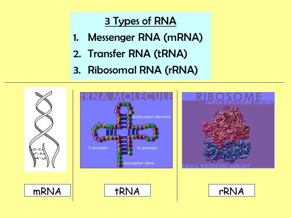 3 Types of RNA Messenger RNA (mRNA) Transfer RNA (tRNA)
