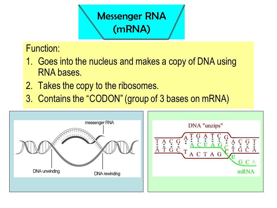 Messenger RNA (mRNA) Function: