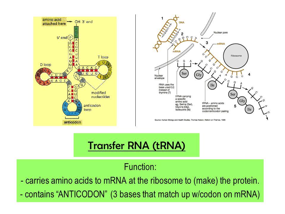 Transfer RNA (tRNA) Function: