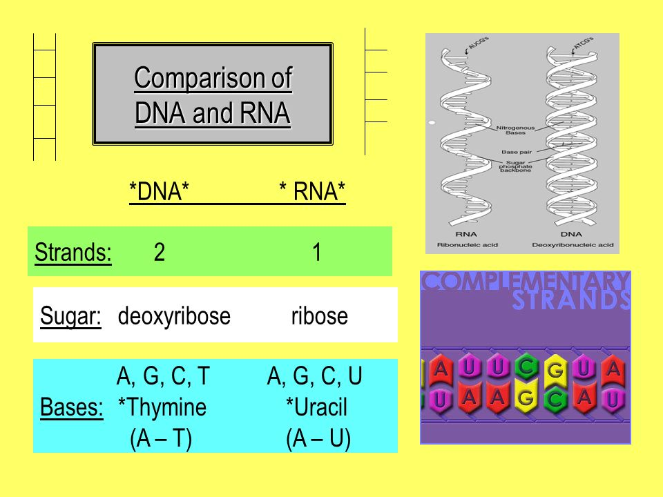 Comparison of DNA and RNA