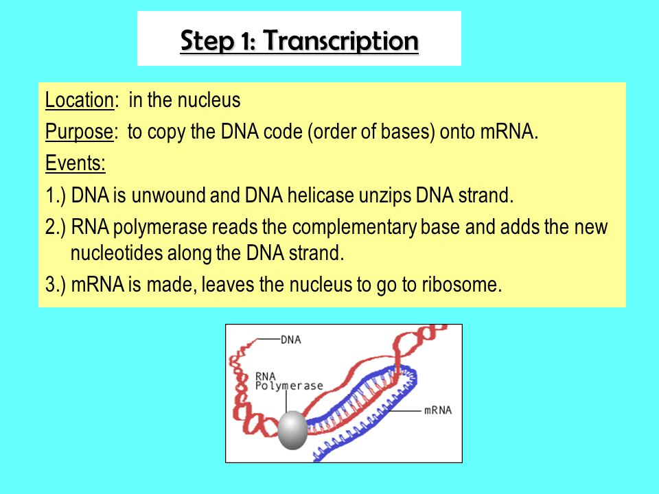 Step 1: Transcription Location: in the nucleus