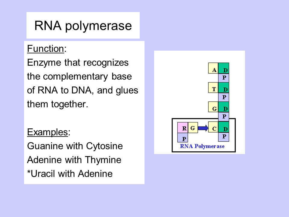 RNA polymerase Function: Enzyme that recognizes the complementary base