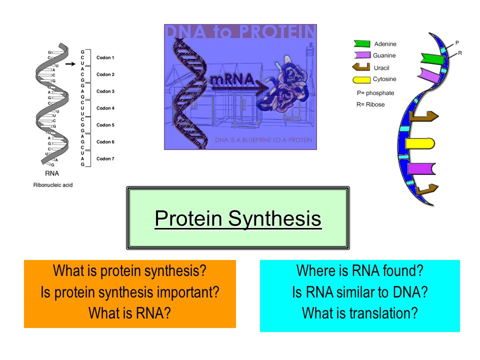 Protein Synthesis What is protein synthesis