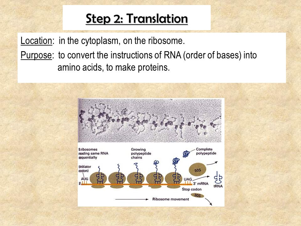 Step 2: Translation Location: in the cytoplasm, on the ribosome.