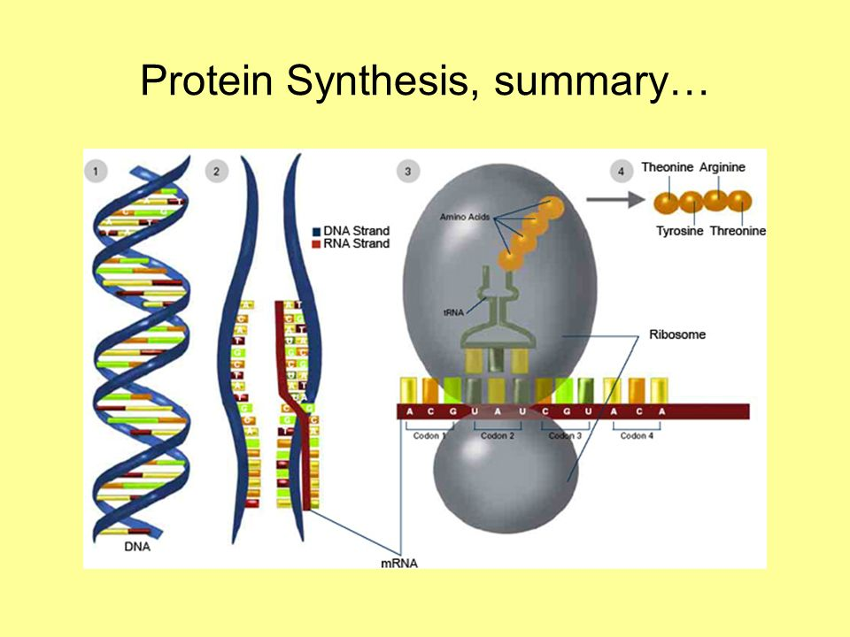 Protein Synthesis, summary…