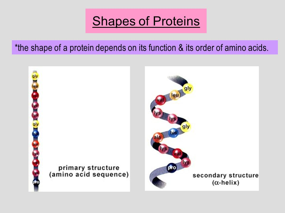 Shapes of Proteins *the shape of a protein depends on its function & its order of amino acids.