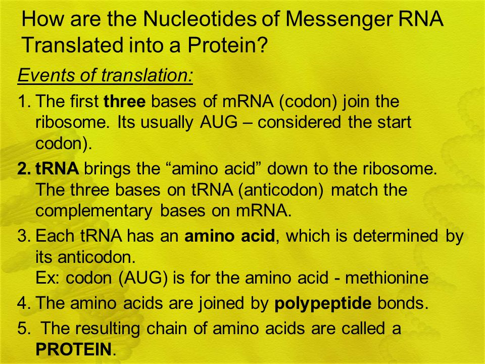 How are the Nucleotides of Messenger RNA Translated into a Protein