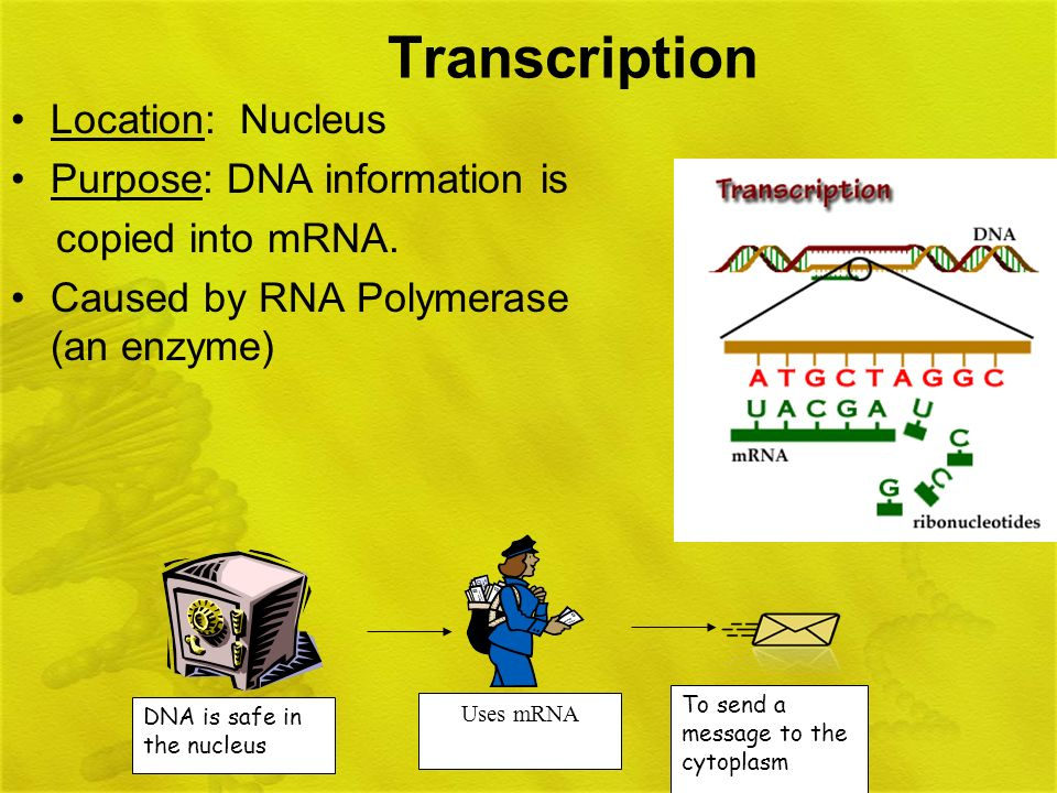 Transcription Location: Nucleus Purpose: DNA information is