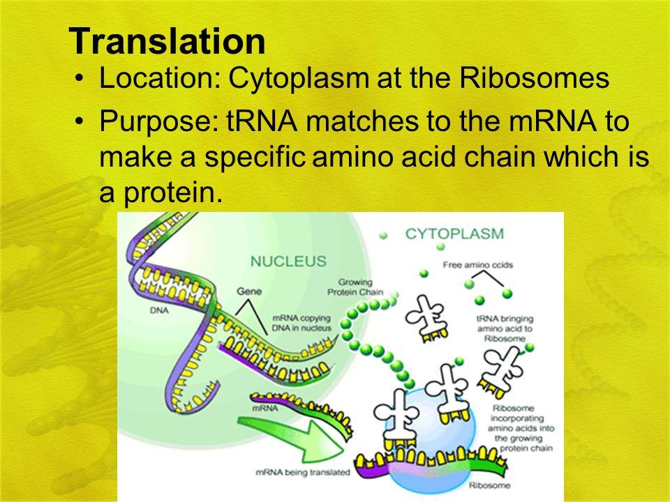 Translation Location: Cytoplasm at the Ribosomes