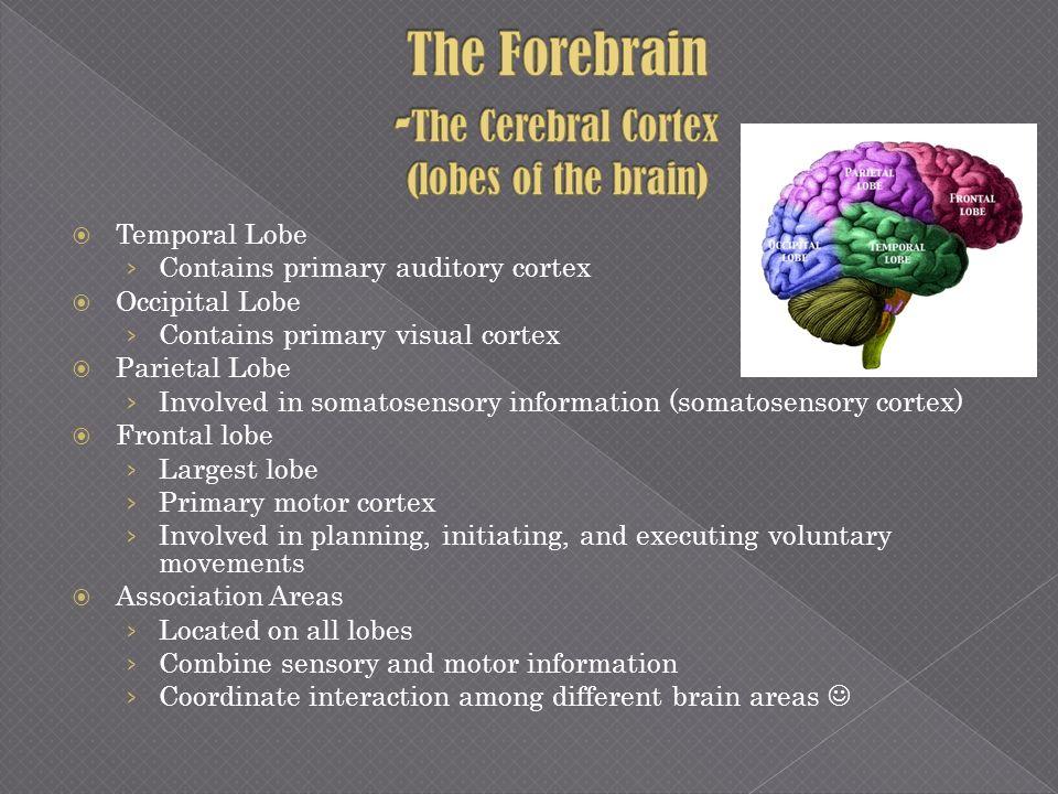 The Forebrain -The Cerebral Cortex (lobes of the brain)
