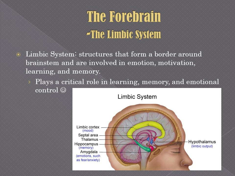 The Forebrain -The Limbic System