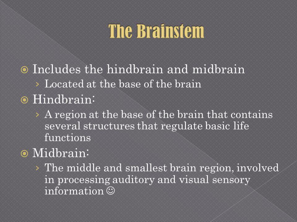 The Brainstem Includes the hindbrain and midbrain Hindbrain: Midbrain: