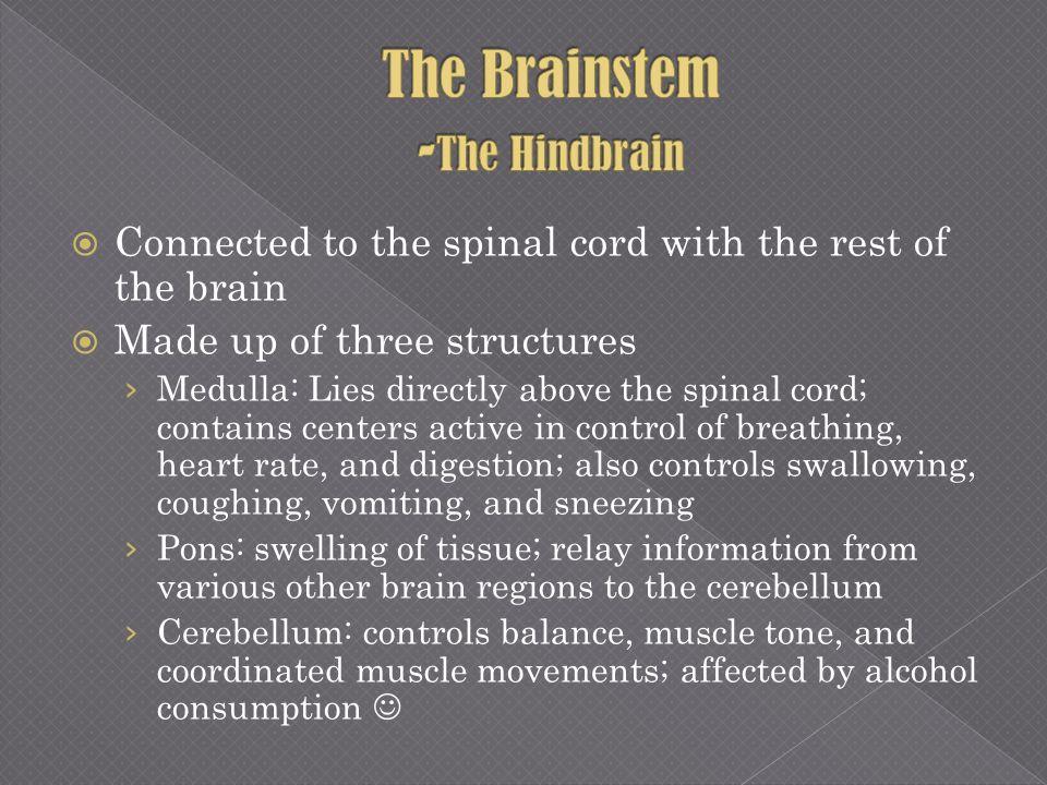 The Brainstem -The Hindbrain