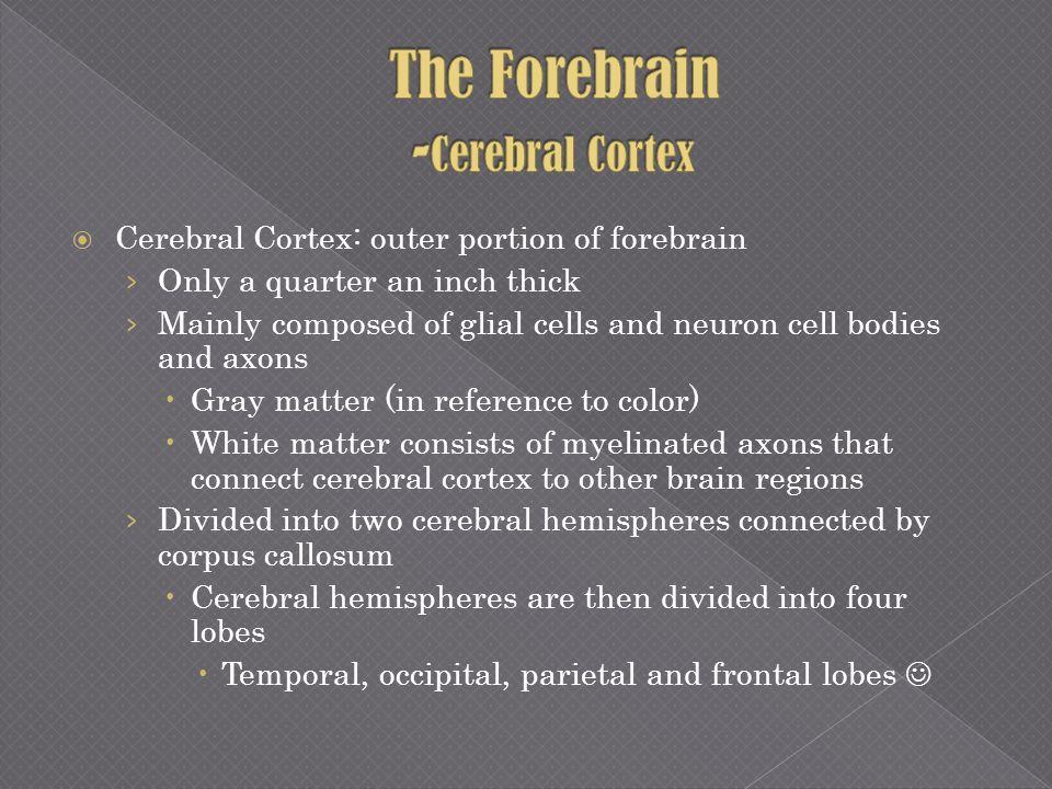The Forebrain -Cerebral Cortex