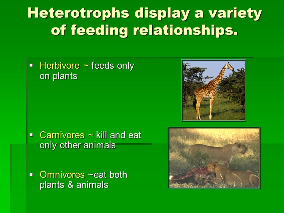 Heterotrophs display a variety of feeding relationships.