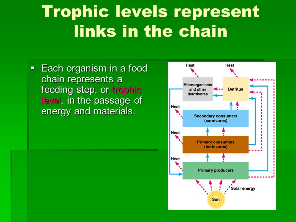 Trophic levels represent links in the chain