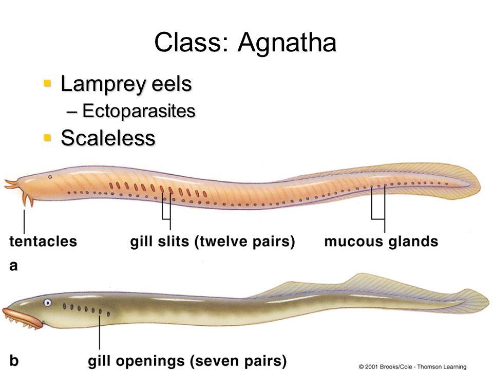 Class: Agnatha Lamprey eels Scaleless Oviparous