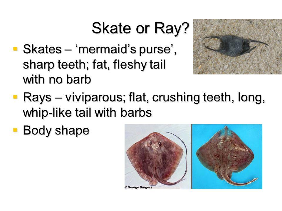 Skate or Ray Skates – 'mermaid's purse', sharp teeth; fat, fleshy tail with no barb.