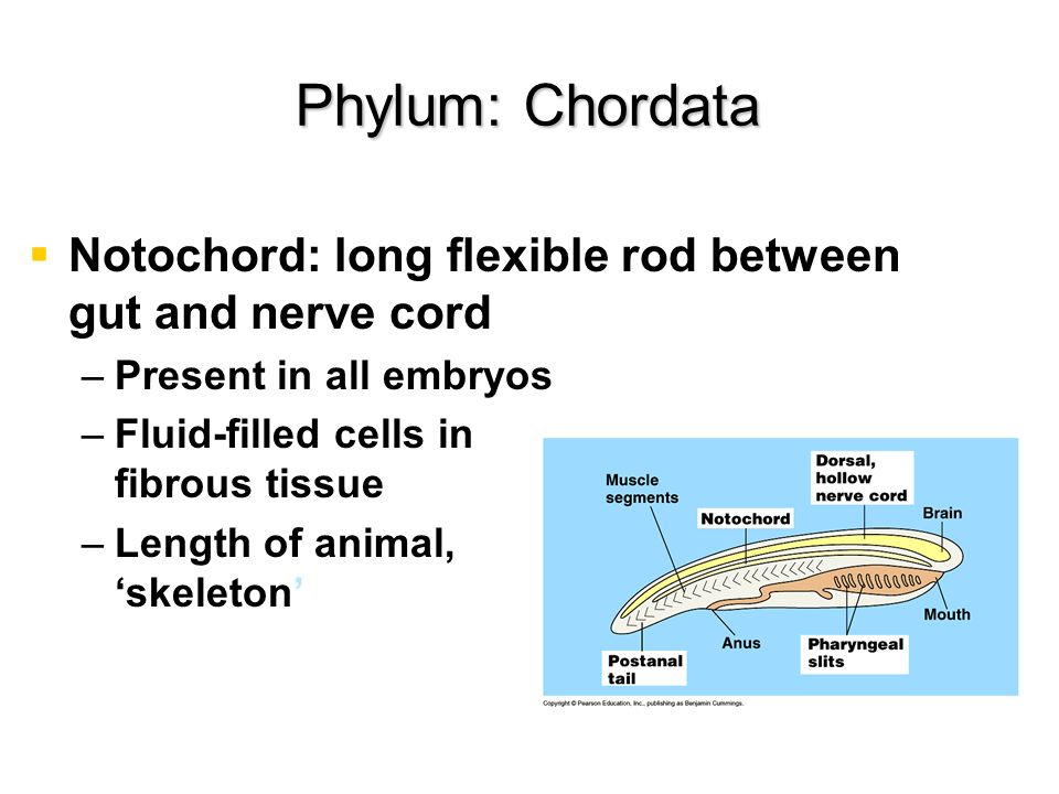 Phylum: Chordata Notochord: long flexible rod between gut and nerve cord. Present in all embryos.