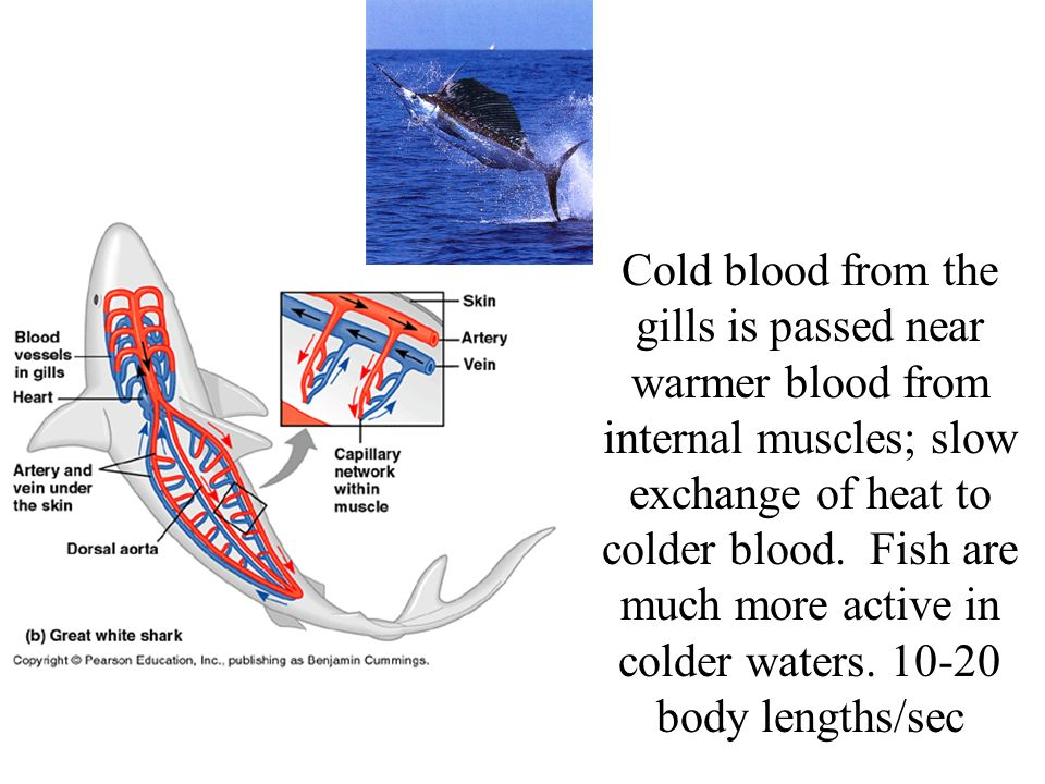 Cold blood from the gills is passed near warmer blood from internal muscles; slow exchange of heat to colder blood.