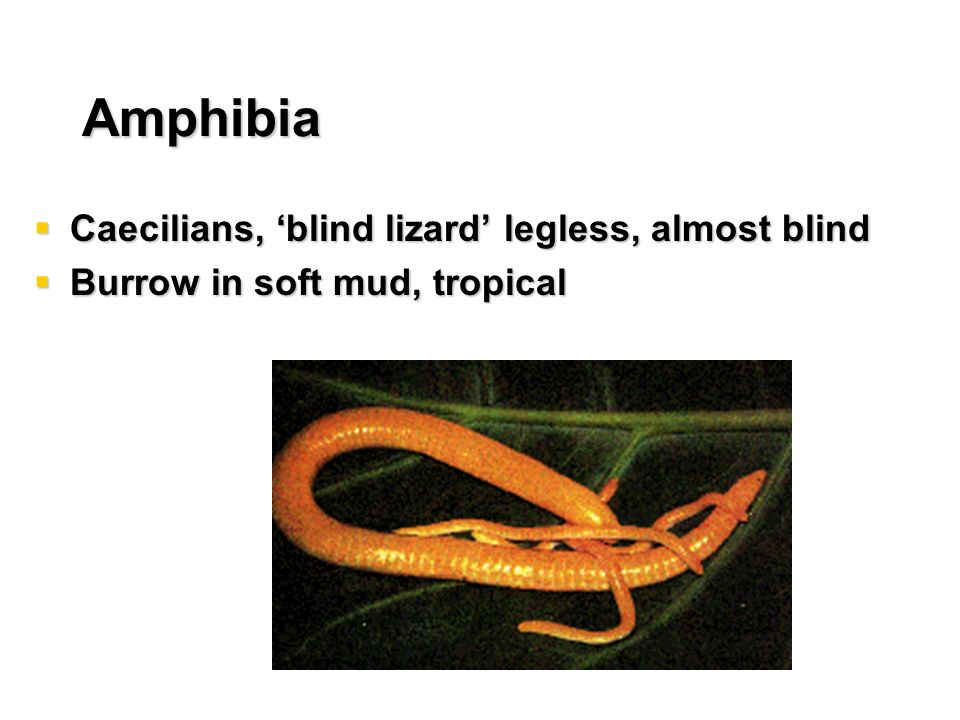 Amphibia Caecilians, 'blind lizard' legless, almost blind