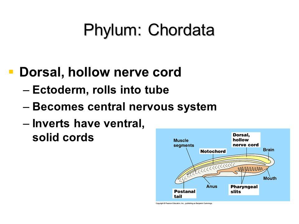 Phylum: Chordata Dorsal, hollow nerve cord Ectoderm, rolls into tube