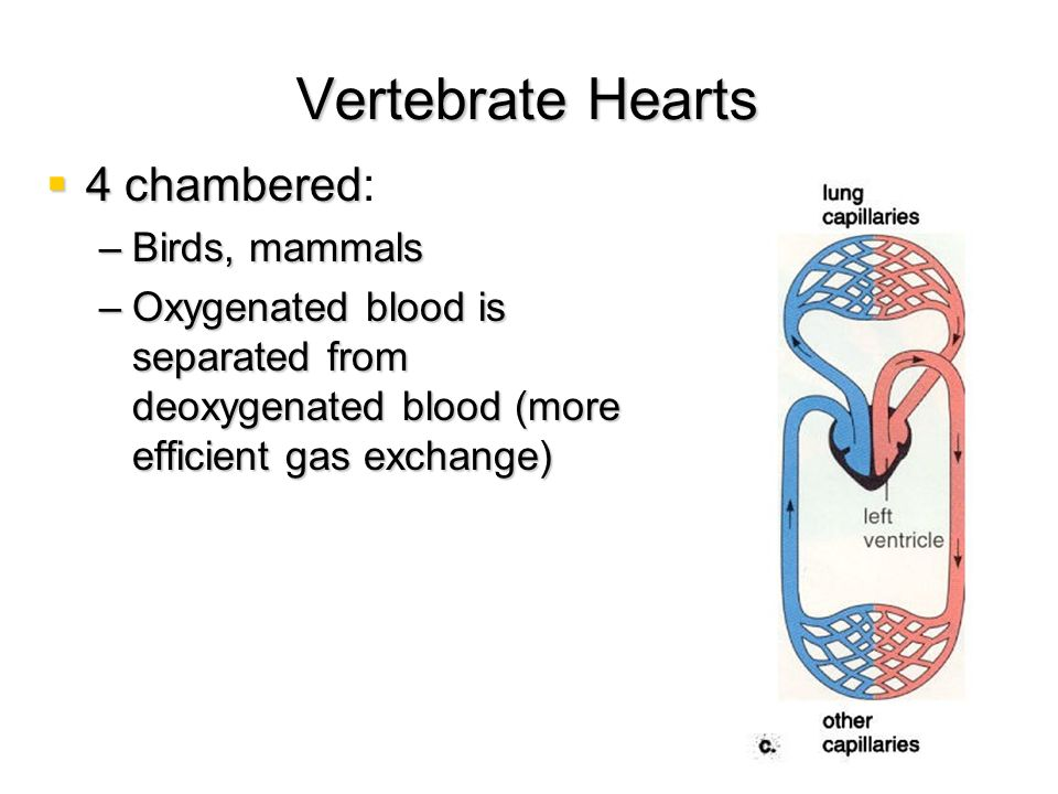 Vertebrate Hearts 4 chambered: Birds, mammals