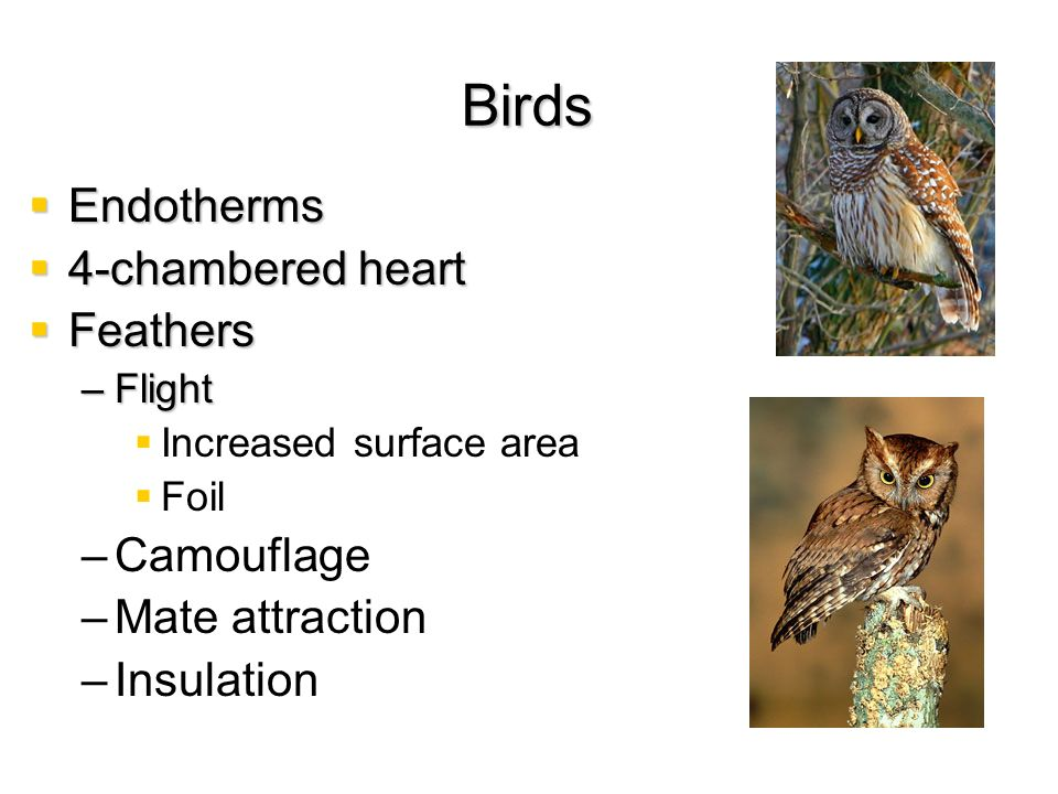Birds Endotherms 4-chambered heart Feathers Camouflage Mate attraction