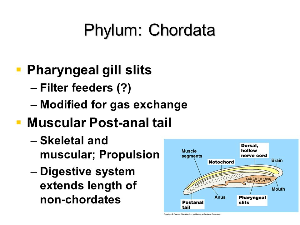 Phylum: Chordata Pharyngeal gill slits Muscular Post-anal tail