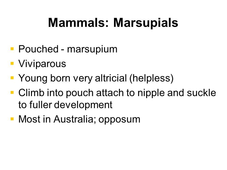Mammals: Marsupials Pouched - marsupium Viviparous