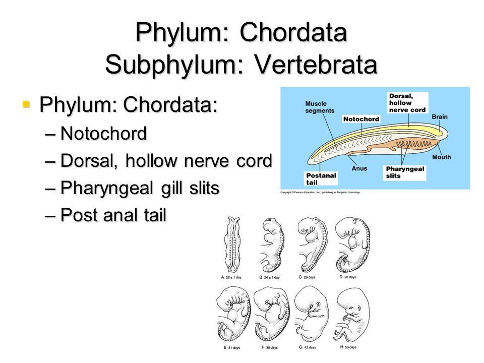 Phylum: Chordata Subphylum: Vertebrata